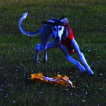 Ghunya running a coursing
